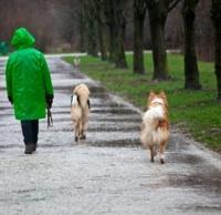 walking dogs in rain